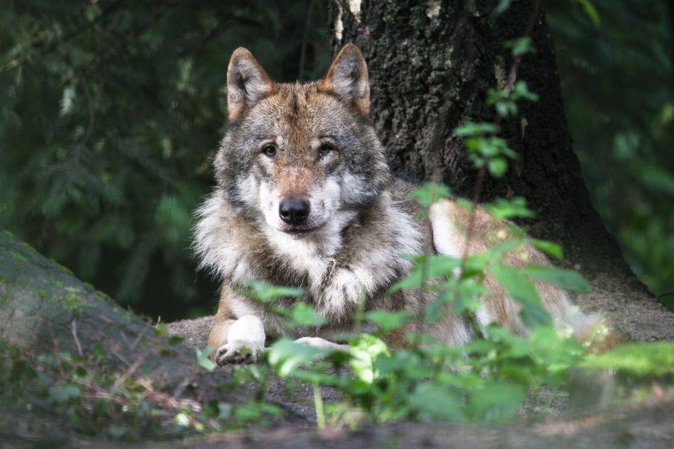 Wolf schaut in die Kamera im Wildpark Schwarze Berge