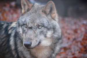 Wolf Nahaufnahme im Wildpark Schwarze Berge