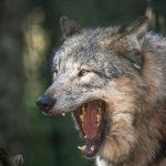 Wolf reißt sein Maul auf bei der Wolfsfütterung im Wildpark Schwarze Berge