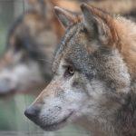 Wolfsrudel im Wildpark Schwarze Berge