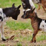 Ziegen Lämmer im Streichelgehege für Kinder im Wildpark Schwarze Berge
