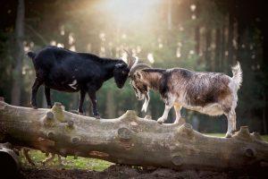 Zwei Ziegen rangeln Kopf an Kopf im Streichelgehege im Wildpark Schwarze Berge