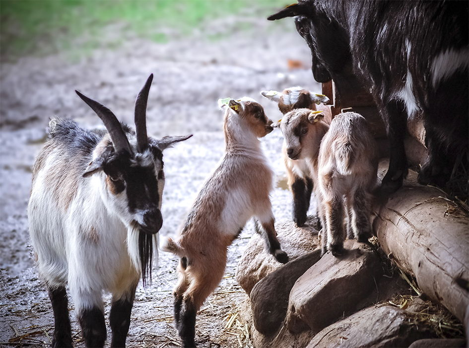 Ziegenachwuchs im Streichelgehege im Wildpark Schwarze Berge