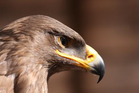 Mit Adler auf Augenhöhe im Wildpark Schwarze Berge, Flugschau, Schnabel, Auge, braun