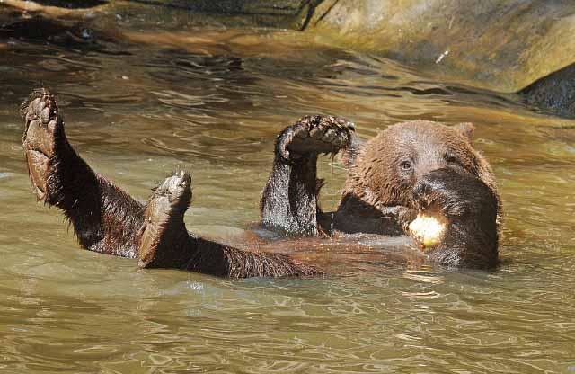 Braunbär im Wasser mit Eisbombe