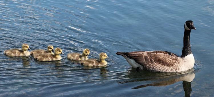 Kanadagans mit Küken auf dem Wasser