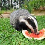 Dachs_ isst Melone im Wildpark Schwarze Berge
