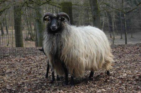 Heidschnucke mit Lamm im Wildpark Schwarze Berge