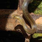 Äskulpnatterim im Wildpark Schwarze Berge, Schlange, Stamm, schlängeln, Rinde