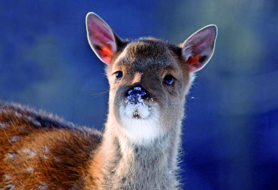 Dybowskijunges im Schnee im Wildpark Schwarze Berge, Schnee, Nase, spitze Ohren, Nikolaus Futtertour, Weihnachtsmann Futtertour