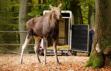 Ankunft Mathilda im Wildpark Schwarze Berge, neu im Park, ausgestiegen, Mathilda, neues Gehege, aufgeregt