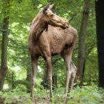 Elchdame im Wildpark Schwarze Berge, Wald, braun, Bäume, Natur
