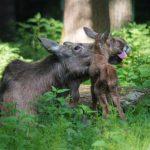 Elchnachwuchs im Wildpark Schwarze Berge