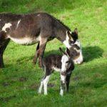 Esel Nachwuchs im Wildpark Schwarze Berge-0045