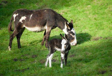 Eselstute mit Fohlen auf der Weide im Wildpark Schwarze Berge