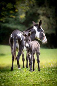 Esel und Fohlen auf der Weide
