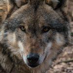 Futterttour zu Wolf und Co iim Wildpark Schwarze Berge, Wölfe, Wissenswertes, Futtertour
