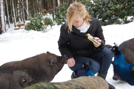 Hängebauchschweine füttern im Schnee