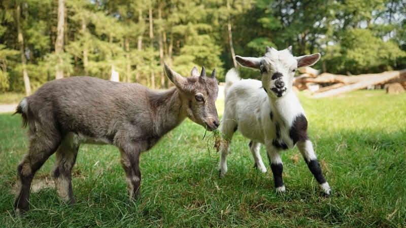 Steinbock Ida mit Ziege