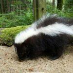 Stinktier im Wildpark Schwarze Begre