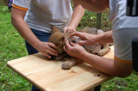 Impfung Wolfsnachwuchs im Wildpark Schwarze Berge
