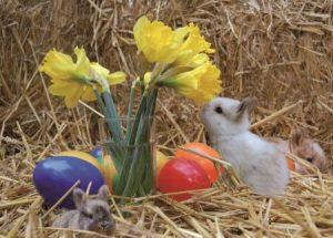Kleines Kaninchen mit Ostereiern im Stroh schnuppert an Narzissen