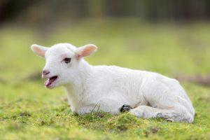 Lamm auf einer Wiese im Wildpark Schwarze Berge, Nachwuchs, Frühlingserwachen, Führung zu den jungen Wilden