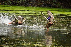 Laufenten im Wasser