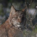 Luchs im Wildpark Schwarze Berge, Pinselohr, Winter, Äste, Luchstag, Tag des Luchses, exklusive Fütterung beim Luchs