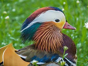 Porträt einer Mandarin-Ente