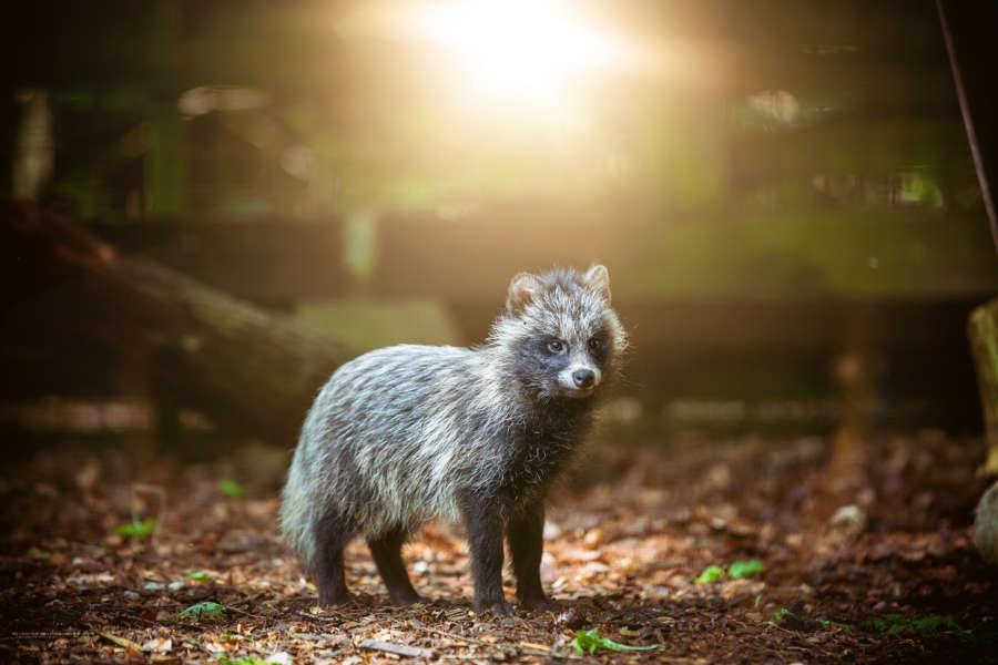 Marderhund im Sonnenuntergang im Wildpark Schwarze Berge, Sonne, Untergang, Herbst, Blätter, schwarz weiß