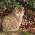 Wildkatze im Wildpark Schwarze Berge