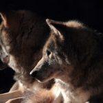 Wölfe im Wildpark Schwarze Berge, dunkel, aufmerksam
