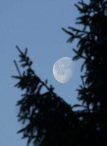 Mond hinter Tanne im Wildpark Schwarze Berge