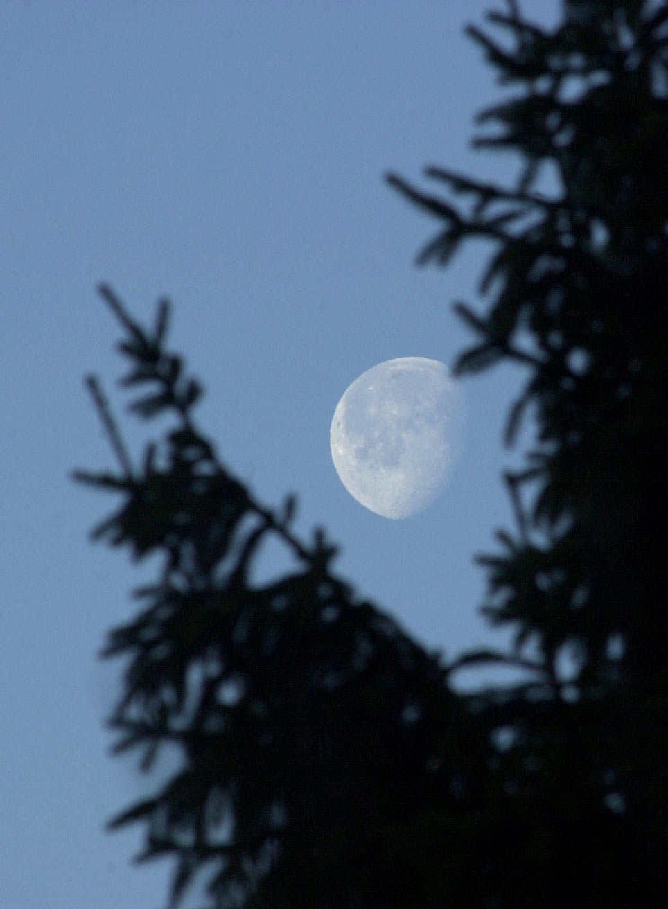 Mond hinter Tanne