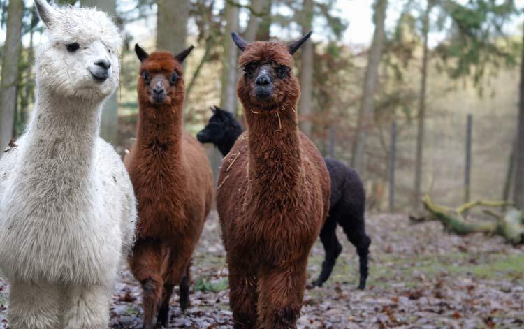 Die Alpaka-Herde