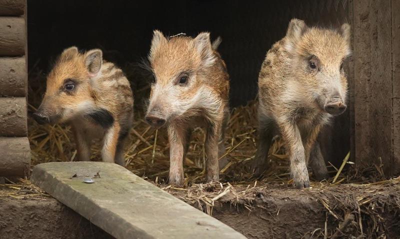 Wildschweinnachwuchs