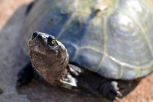 Sumpfschildkröte im Wildpark Schwarze Berge, hallo, Panzer, grüne Augen, grau, Sommer