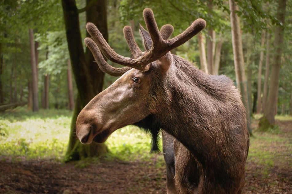 Snorre im Wildpark Schwarze Berge, Elch, Geweih, wartet auf Molly, im Wald