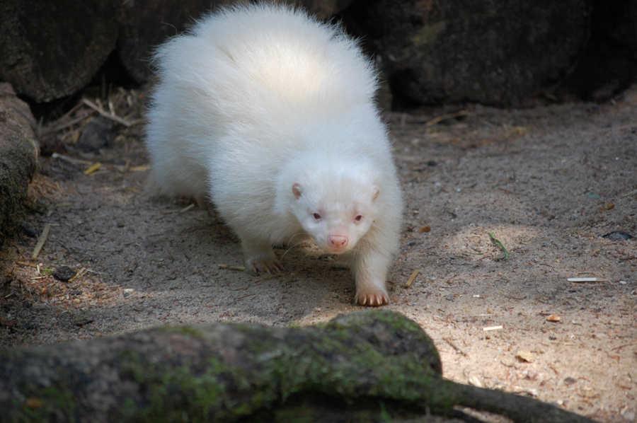 Albino Stinktier im Wildpark Schwarze Berge, lächeln, schwarz weiß, Baumstamm, Sand, Rasen