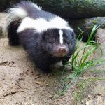 Stinktier im Wildpark Schwarze Berge, lächeln, schwarz weiß, Baumstamm, Sand, Rasen