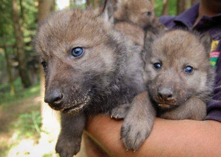 Wolfswelpen bei der Kontrolle im Wildpark Schwarze Berge