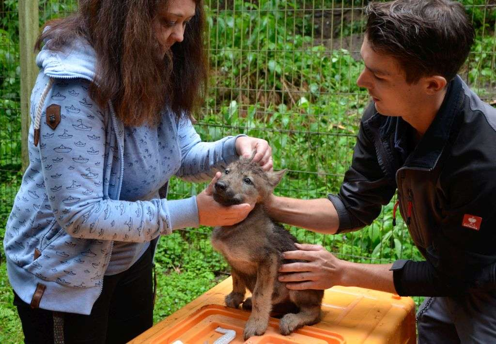 Untersuchung Wolfnachwuchs