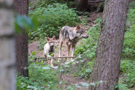 Wolf-Vater Django mit einem Wolfswelpen im Gehege im Wildpark Schwarze Berge