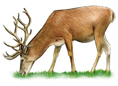 Rotwild Hirsch am Äsen auf der Wiese im Wildpark Schwarze Berge