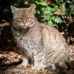 Wildkatze im Wildpark Schwarze Berge, Wildkatze, Wald, Blätter, Herbst, böse Blicke, flauschig