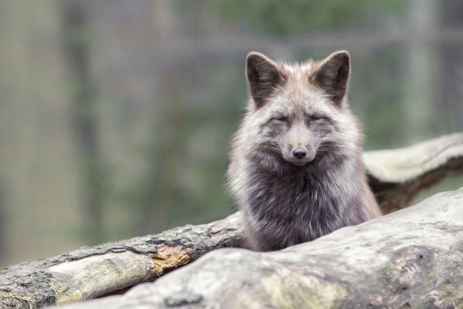 wildpark-schwarze-berge_fuchs