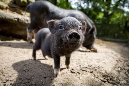 Hängebauchschwein-Jungtier schaut neugierig in die Kamera