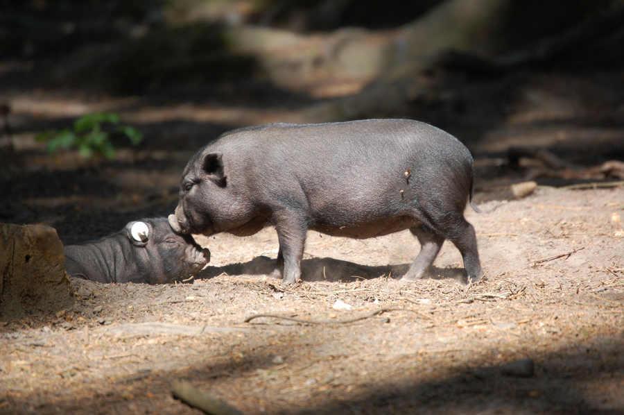 Hängebauchschweine geben sich einen Kuss im Wildpark Schwarze Berge, Nachwuchs, Frühlingserwachen, Führung zu den jungen Wilden, Sonne, Frühling, Begrüßungskomitee