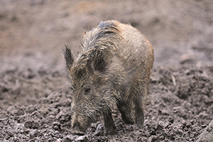 Wildschwein im Wildpark Schwarze Berge, Wildschwein